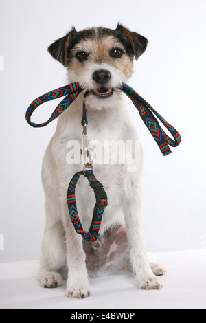dog with lead - Stock Photo
