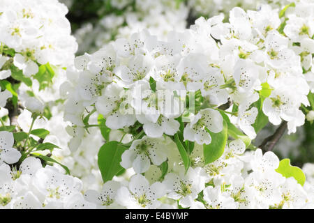 Gentle white flowers in a spring sunny day - Stock Photo