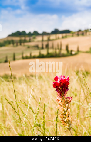 red flower on a field in tuscany with a slighty defocused winding road in the background in crete senesi Tuscany, Italy