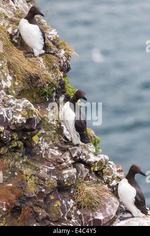 guillemots on cliffs edge. Crawton N.E.Scotland. - Stock Photo
