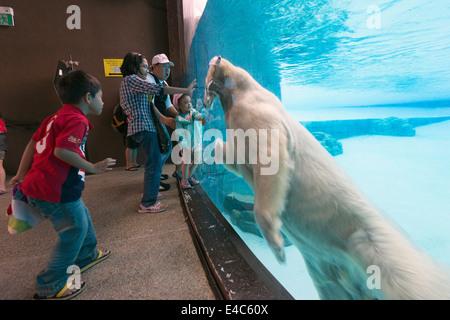 South East Asia, Singapore, Singapore zoo, polar bear (Ursus maritimus) - Stock Photo