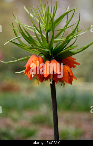 Close up of a Crown Imperial Fritillary (Fritillaria Imperialis) growing at RHS Harlow Carr in Yorkshire. - Stock Photo