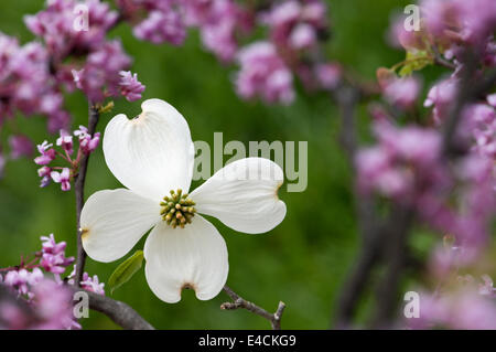 Dogwood and Redbud Blossoms - Stock Photo