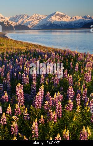 A field of lupine along Turnagain Arm, Chugach National Forest, Alaska. - Stock Photo