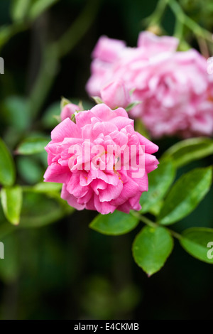 Rosa 'Dorothy Perkins'. Double pink flowered rambling rose. - Stock Photo