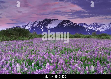 Field of Lupine wildflowers along Turnagain Arm, Chugach National Forest, Alaska. - Stock Photo