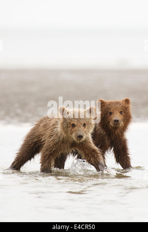 Brown or Grizzly Bear cubs, Lake Clark National Park, Alaska. - Stock Photo