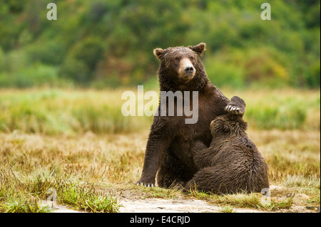 A mother coastal brown bear (grizzly bear) nurses a cub in Katmai National Park, Alaska, USA - Stock Photo