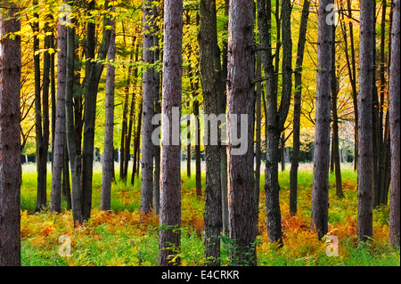 A pine forest in Southeast Michigan during fall color. - Stock Photo