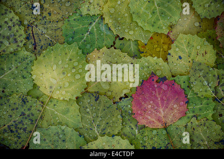 Bigtooth Aspen leaves with morning raindrops create a colorful pattern in Highland Recreation area in Southeast - Stock Photo