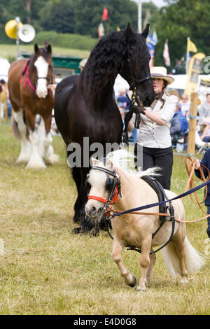 Miniature Shetland Pony with a Friesian stallion in hand at a show ground in England - Stock Photo