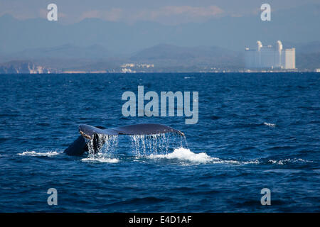 The tail of a humpback whale disappears into the ocean near Mazatlan, Sinaloa, Mexico. - Stock Photo