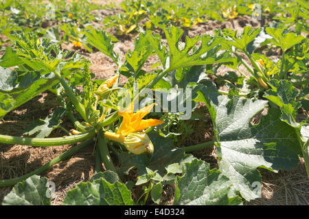 Squash courgette marrow organic crop flowering Summer crop ripening hidden beneath a mass of protective leaves in - Stock Photo