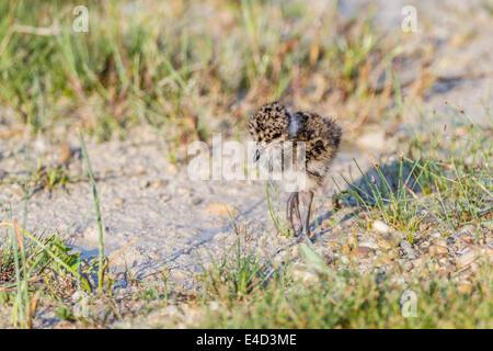 Northern Lapwing (Vanellus vanellus), chick, Seewinkel, Burgenland, Austria - Stock Photo
