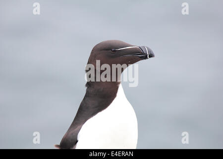 Razorbill on the Isle of May, Scotland - Stock Photo