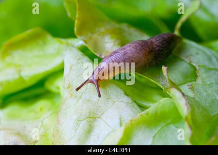 Nacktschnecke auf einem Salatblatt - Stock Photo