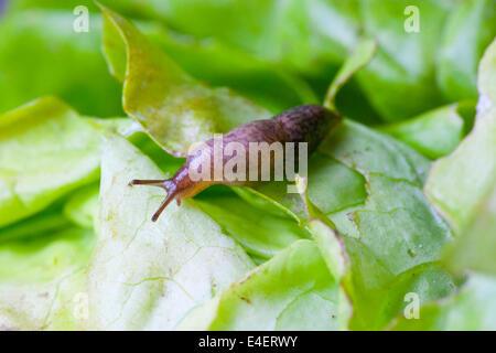 Schnecke auf einem Salatblatt - Stock Photo