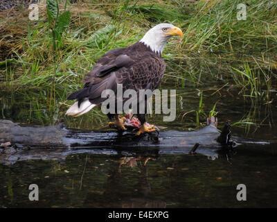 Bald Eagle (Haliaeetus leucocephalus) fishing for salmon in Gunnuk Creek, Kake, Kupreanof Island, Southeast Alaska, - Stock Photo