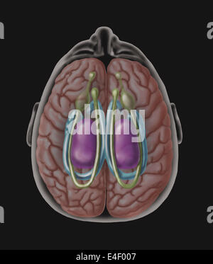 View of limbic system as seen from directly above the head. - Stock Photo
