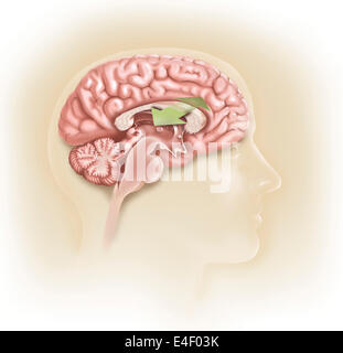 Sagittal view of human brain showing the corpus callosum. - Stock Photo