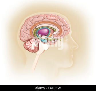 Sagittal view of human brain showing the limbic system. - Stock Photo