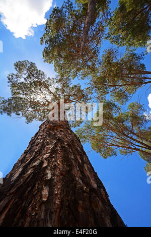 Jerusalem pine - Stock Photo