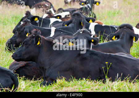Herd of cows lying down in field - Stock Photo