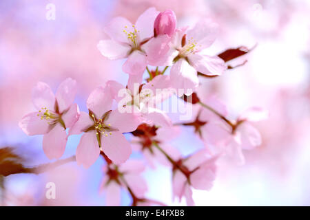 Floral background of pink Cherry blossoms, hdr effect, shallow depth of field. - Stock Photo