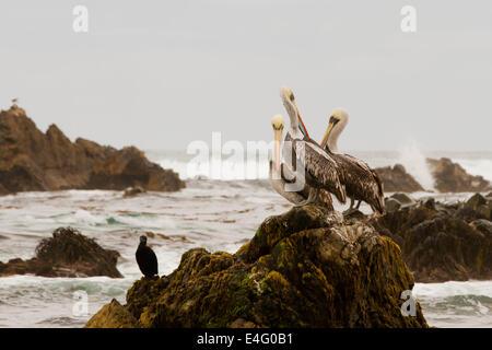 Pelicans on rock at Punta de Choros, La Serena, Chile - Stock Photo