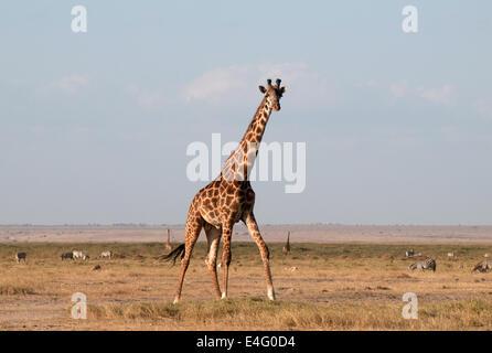 Common Giraffe in Amboseli National Park Kenya East Africa  TWO COMMON GIRAFFE AMBOSELI KENYA - Stock Photo