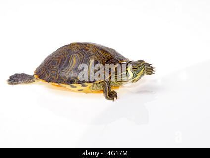 florida turtle isolated on white background young - Stock Photo