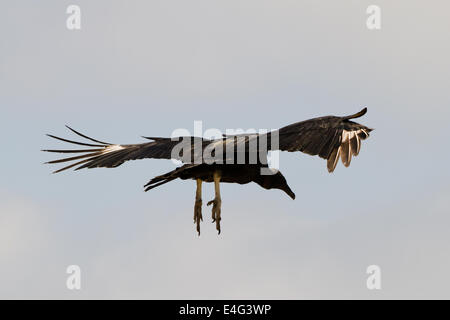 Bird in flight at Punta de Choros, Isla Damas, La Serena, Chile. 2013, Nov 02/03 - Stock Photo