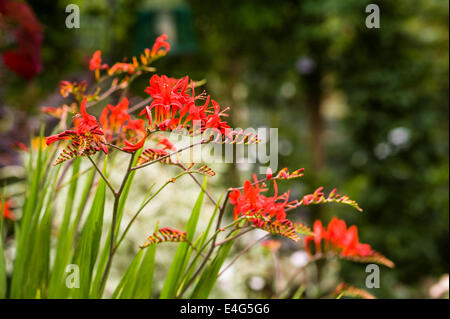 Crocosmia Lucifer red flowered monbretia. - Stock Photo