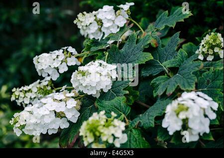Hydrangea Quercifolia Snow Queen, white flowered shrub. - Stock Photo