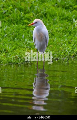 Cattle Egret / Buff-backed Heron (Bubulcus ibis / Ardea ibis / Ardeola ibis) standing on lake shore - Stock Photo