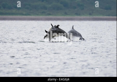 Bottlenose Dolphins breaching at Chanonry Point, Scotland - Stock Photo