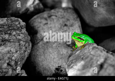 Little common tree frog between stones - colorkey - Stock Photo