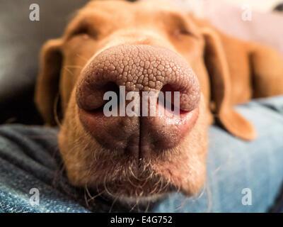 Dog's Nose (Chesapeake Bay Retriever) - Stock Photo