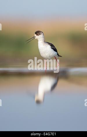 Black-winged Stilt (Himantopus himantopus) wading in shallow water - Stock Photo