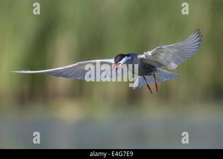 Whiskered Tern (Chlidonias hybrida) flying low over a marshland lake - Stock Photo