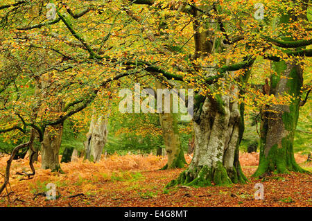 Beech trees in Mark Ash Wood, New Forest, Hampshire, UK Autumn - Stock Photo