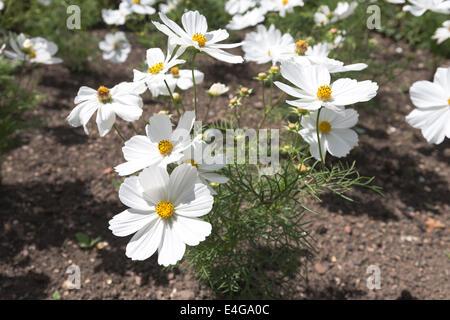 lovely delicate flowerbed arrangement of Cosmos bipinnatus Sonata White
