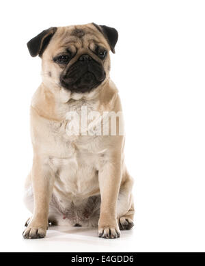 grumpy dog - pug with grouchy expression isolated on white background - Stock Photo