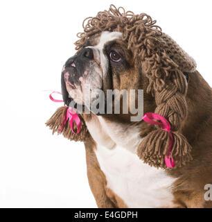 female dog wearing wig on white background - english bulldog - Stock Photo
