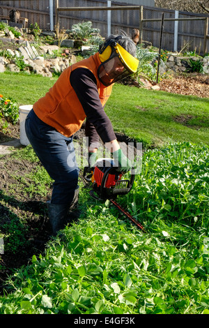 Slashing green manure crop using a hedge trimmer - Stock Photo
