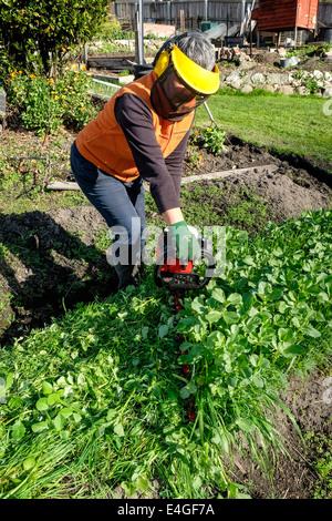 Slashing green manure crop using a hedge trimmer - Stock Photo