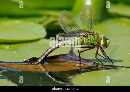 Emperor Dragonfly - Anax imperator Female laying eggs on floating vegitation - Stock Photo