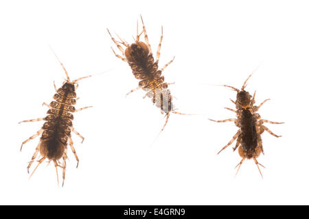 Freshwater shrimp water louse a crustacean and used as an indicator of pollution and water quality with brood pouch - Stock Photo