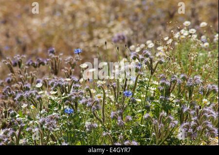 Scorpion Weed, Phacelia tanacetifolia. - Stock Photo