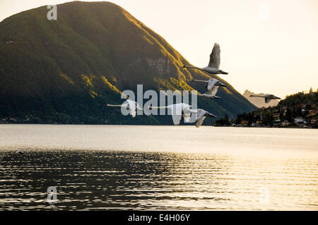Swans flying over Lake Lugano at Porlezza Italy - Stock Photo